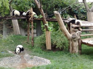panda-breeding-and-research-center-2.jpg